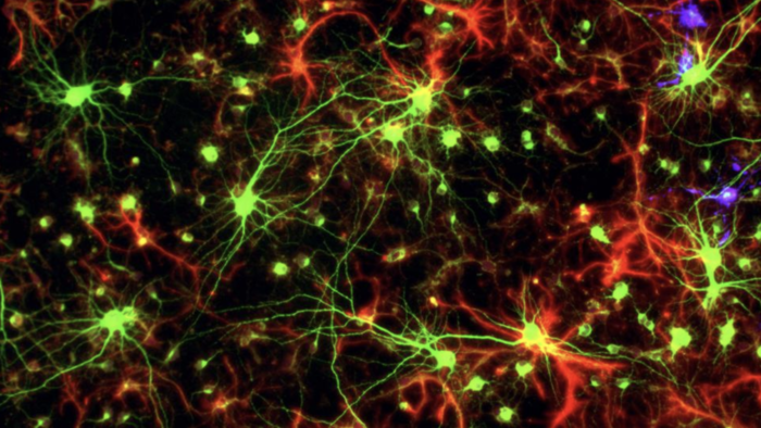 Glial Cells and Neurons